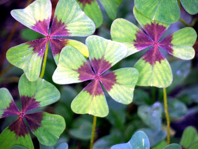 7323709 - four-leaf clover - a symbol of happiness